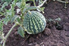 Wassermelone im Garten Lizenzfreie Stockbilder