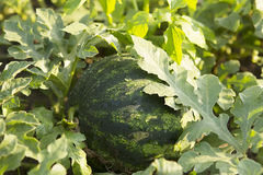 Wassermelone im Garten Stockbild