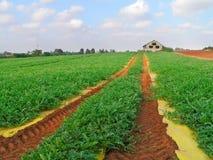 Wassermelonefeld Stockfotos