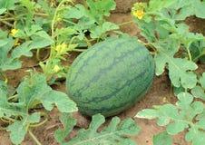 Wassermelonen auf der grünen Wassermeloneplantage Lizenzfreie Stockfotos