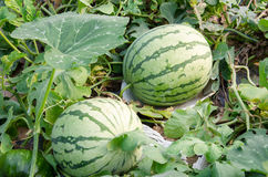 Wassermelonenernte Lizenzfreies Stockbild