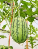Wassermelonenlandwirtschaft im Biohof Stockfotografie