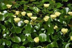 Wassermohnblume stockfotografie