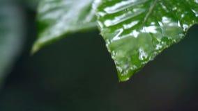 Wassernasen auf Blättern stock footage