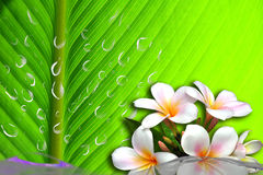 Wasserorchidee Lizenzfreies Stockfoto