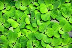 Wasserpflanze Lizenzfreie Stockfotos