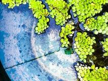 Wasserpflanze Stockbild