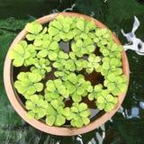 Wasserpflanze im Haus Stockbild