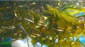 Wasserpflanze rdest im Aquarium stock footage