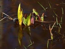 Wasserpflanzen Stockbilder