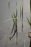 Wasserpflanzen Lizenzfreie Stockbilder