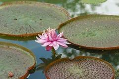 Wasserpflanzen Lizenzfreie Stockfotos