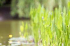 Wasserpflanzen stockfotos