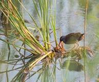 Wasserralle mit Reedanlagen Lizenzfreie Stockfotografie