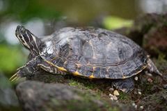 Wasserschildkröte auf grünem Hintergrund, Makro Lizenzfreies Stockfoto