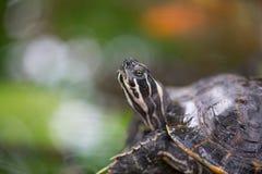 Wasserschildkröte auf grünem Hintergrund, Makro Lizenzfreie Stockfotos