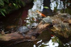 Wasserschildkröte auf grünem Hintergrund, Makro Lizenzfreie Stockbilder