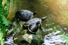 Wasserschildkröten mit einer gelben Stelle Lizenzfreie Stockbilder