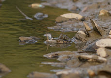 Wasserschlange auf dem Fluss Lizenzfreies Stockbild
