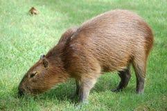 Wasserschwein de Hydrochaeris Imagens de Stock Royalty Free