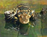 Wasserspeier Gator Stockbild