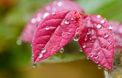 Wassertröpfchen auf Blättern Lizenzfreie Stockfotos