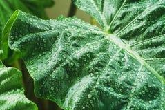 Wassertröpfchen auf Blatt im tropischen Wald Lizenzfreie Stockfotografie