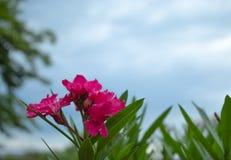 Wassertröpfchen auf der rosa Blume nach dem Regen stockbild
