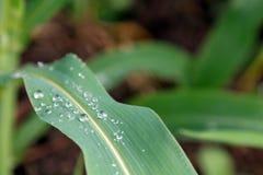 Wassertröpfchen auf einem Grünkernblatt Stockbild