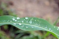 Wassertröpfchen auf einem Grünkernblatt Stockfotos
