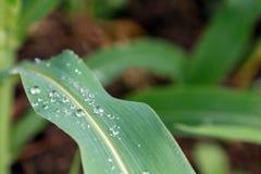 Wassertröpfchen auf einem Grünkernblatt Lizenzfreie Stockfotografie