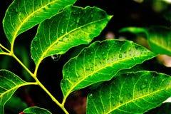 Wassertröpfchen auf neem Blättern Lizenzfreie Stockfotografie