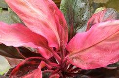 Wassertröpfchen auf roten Blättern Stockfotografie