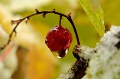 Wassertröpfchen, das von der einzelnen roten Beere der roten Johannisbeere hängt Lizenzfreie Stockfotografie