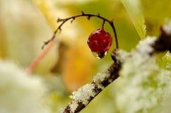 Wassertröpfchen, das von der einzelnen roten Beere der roten Johannisbeere hängt Stockfotos