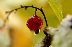 Wassertröpfchen, das von der einzelnen roten Beere der roten Johannisbeere hängt Stockbild