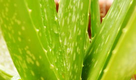 Wassertropfen auf Aloevera-Blattkraut für entlasten Brandwunden Lizenzfreie Stockfotos