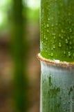 Wassertropfen auf Bambus Stockfotografie