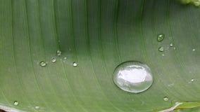 Wassertropfen auf Bananenblatt Stockfotografie