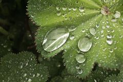 Drops of water on leaf Alchemilla. Closeup of a leaf on a rainy morning. Large drops of water give the picture a special, fresh and lively impression. Noteworthy royalty free stock image