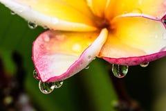 Wassertropfen auf dem Plumeriablatt Stockfotos