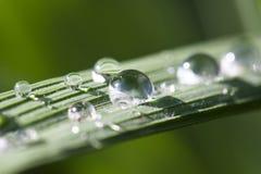 Wassertropfen auf dem Reisblatt Stockfotos