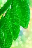 Wassertropfen auf den Blättern Lizenzfreies Stockfoto