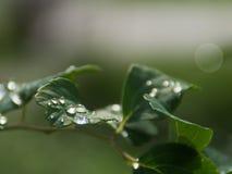Wassertropfen auf den Blättern Stockfoto