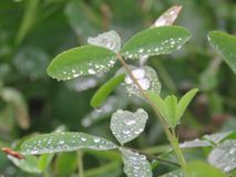 Wassertropfen auf den Blättern morgens Stockfotos