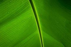 Wassertropfen auf einem Bananenblatt lizenzfreie stockfotos