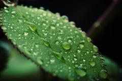 Wassertropfen auf einem grünen Blatt Stockbild