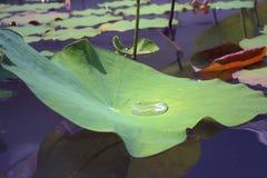 Wassertropfen auf einem Lotos treiben, natürlicher Hintergrund Blätter Stockbilder