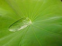 Wassertropfen auf einem Lotosblatt Stockfoto