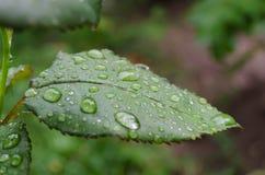 Wassertropfen auf einem Rosenblatt lizenzfreies stockfoto